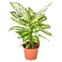 Air purfiying Chinese Evergreen Plant/ Aglaonema