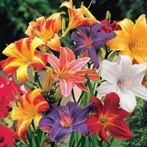 Day Lily Flower Bulbs (Pack of 5) - Mix Color