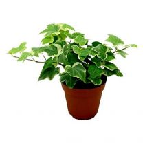 Air purifying English Ivy / Hedera Helix