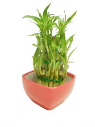 3 Layers Lucky Bamboo in Plastic Pot