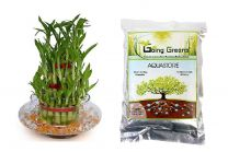 Combo of 3 Layers Lucky Bamboo Plant & Aquastore Water Storing Granules 100 Grams with Free Glass Pot