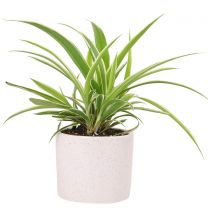 Air Purifying Spider Plant with Ceramic Pot