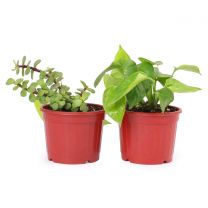Combo of Air Purifying Money Plant and Jade Plant in Teracotta Plastic Pot