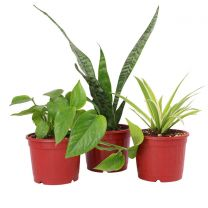 Combo of Air Purifying Money Plant, Spider Plant and Snake Plant in Teracotta Plastic Pot
