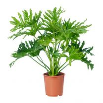 Air purifying Philodendron / Philodendron bipinnatifidum