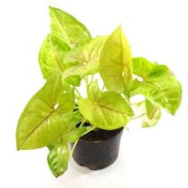 Good Luck Air Purifying Live Syngonium Plant with Terracotta Pot