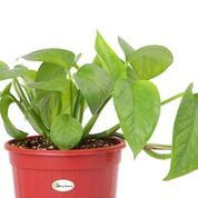 Air Purifying Good Luck Green Money Plant in Hanging Pot