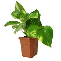 Air Purifying Good Luck Green Money Plant in Plastic pot