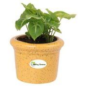 Ceramic Pot for Succulents, Cactus, Table Top (Small,Yellow Colour)