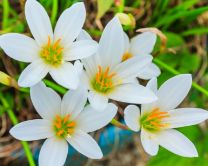 Zephyranthes (Rain Lily) Flower Bulbs (Pack of 15 Bulbs) - White