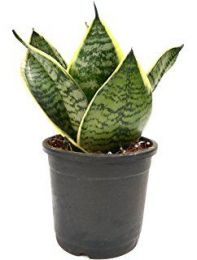 Air Purifying Sansevieria / Snake Plant Green with Pot